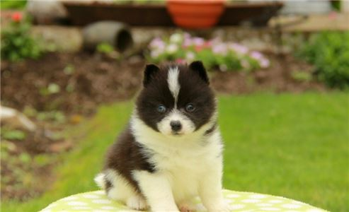 Pomsky Puppies Male and Female beautiful babies bu