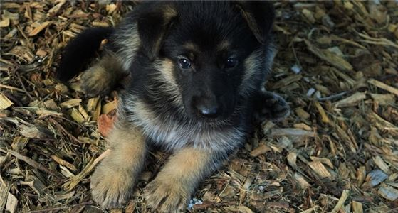 German shepherd Puppies 336,6187,694 2