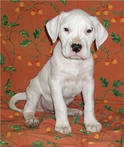 Adorable AKC White Dogo Argentino Puppies