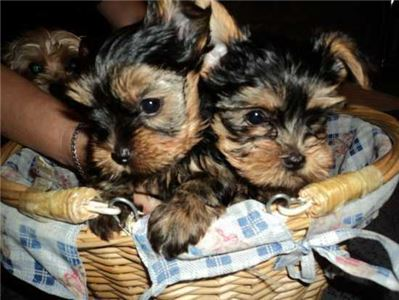 AkcYorkshireTerrierPuppies