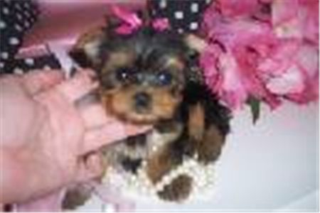 cuteteacupyorkiepuppies