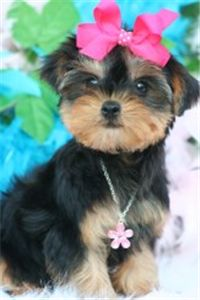 beautifulyorkiepuppiesforre-home