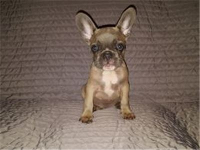 FrenchBulldogsReduced