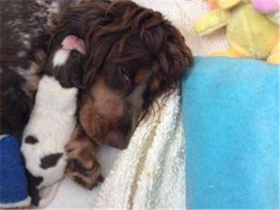 CockerSpanielPuppies