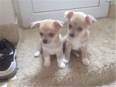 Full Pedigree Chihuhua Puppy