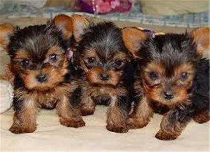 AdorableTeaCupYorkiePuppiesforrehoming