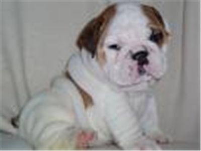 adorableenglishbulldogpuppies