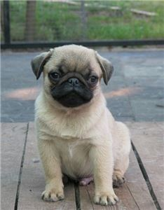 HISUDJy Healthy Home Raised Pug Puppies 2