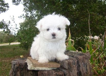 Whained Urgent Maltese Puppies
