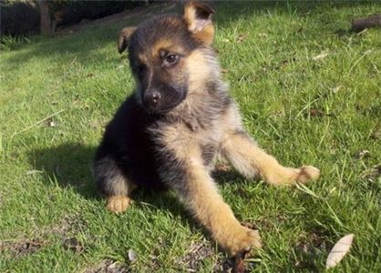 Xllaoie German Shepherd Puppies
