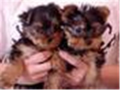 adorable pure bread teacup yorkie puppies for free