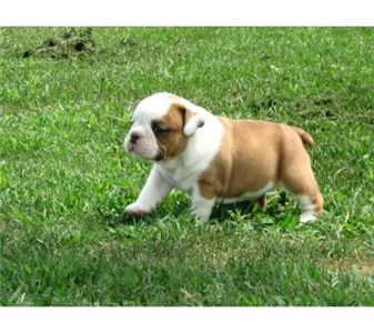 cutestenglishbulldogpuppiesforadoption
