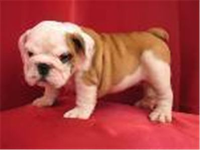 englishbulldogpuppiesreadytogonow