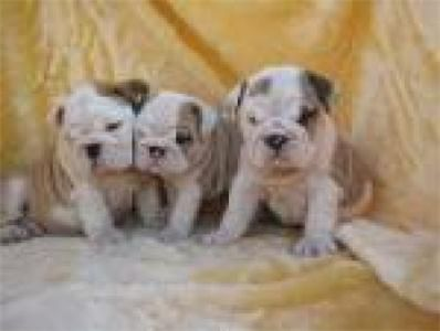 adorableenglishbulldogpuppiesforadoption