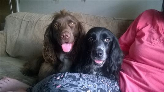 GorgeousWorkingCockerSpanielPuppiesForSale