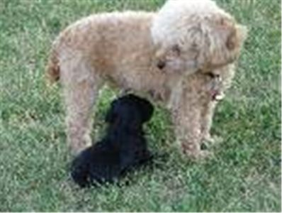 littlepoodlepuppies