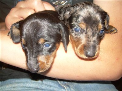 gorgeousminiaturedachshundpuppieswisconsin
