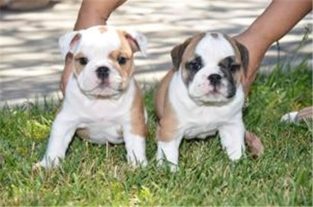 Amazingenglishbulldogpuppies