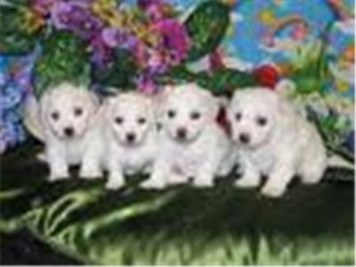 sweet bichons for sale