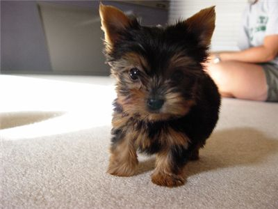 adorableteacupyorkiepuppyforfreeadoption