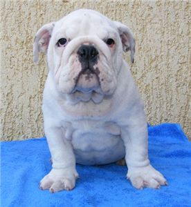 whiteenglishbullpuppy