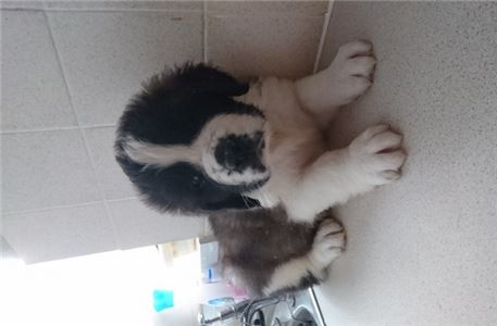 Male and Female  st bernard puppies