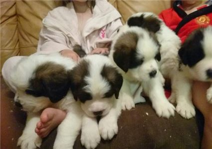 Saint Bernard Pups for Sale