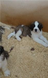 AKc Registered Handsome St Bernard Puppies