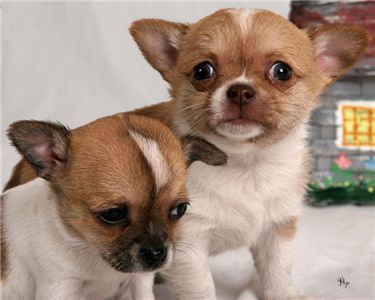 lovelychihuahuapuppiesforadoption
