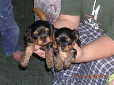 cute and lovely yorkie puppies for free adoption