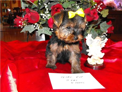 t-cupyorkiepuppiesforfreeadoption