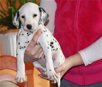 LOvely Male and Female Dalmatian Puppies Available