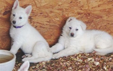 Champion Bloodline AKC White German Shepherd Puppi