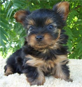 adorable yorkie for sale