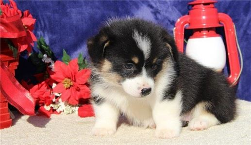 Home trained Corgi Puppies for sale