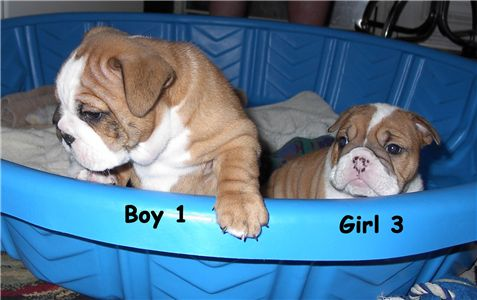 lovelyenglishbulldogpuppiesforgoodhomes