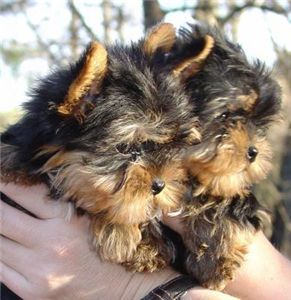 teacupyorkiepuppiesforadoption
