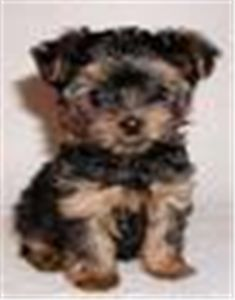 tinyteacupyorkiepuppyforadoption