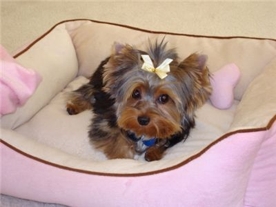 adorablecuteandlovelyyorkiepuppiesforadopti