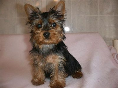 beautifulteacupyorkiechiots