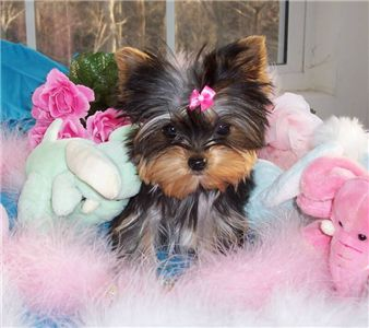yorkiepuppyforfreeadoption