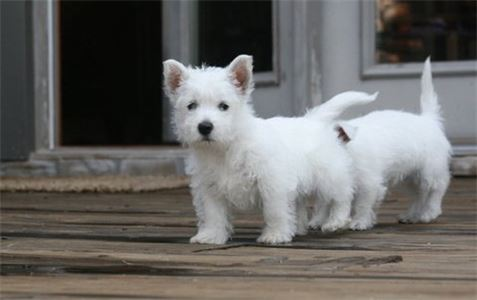 Evhaue West Highland Puppies