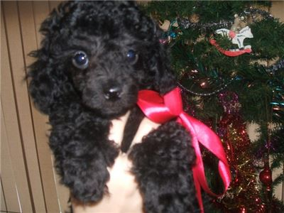 Qguahue Poodles Puppies