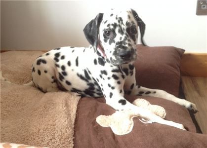 Spplaoe Dalmatians Puppies nice and lovely
