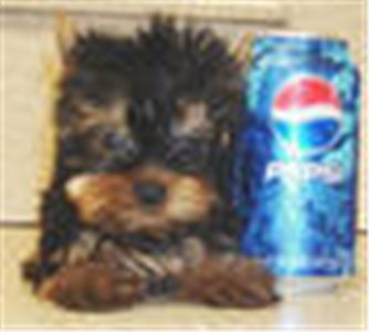 oustandingyorkiepuppiesforfreeadoption