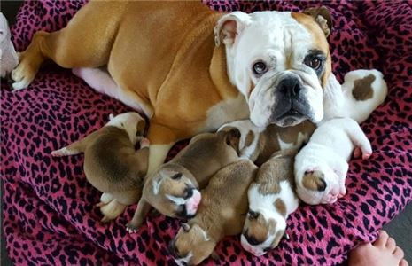 RegisteredProvenEnglishBulldogpuppies