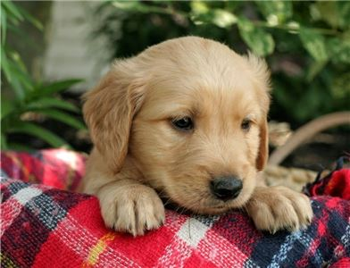 GoldenRetrieverbreed