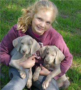 AKC Weimaraner puppies