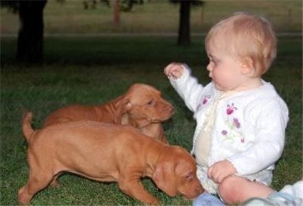 vizslapuppies