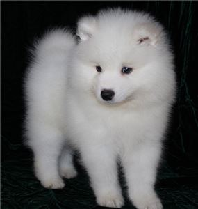 GORGEOUS AKC Male and Female Samoyed puppy